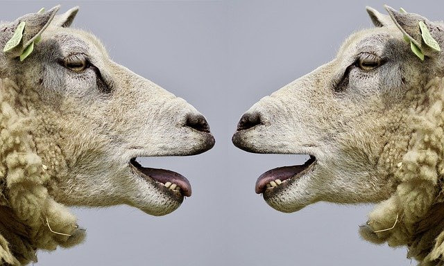 Two lambs facing each other
