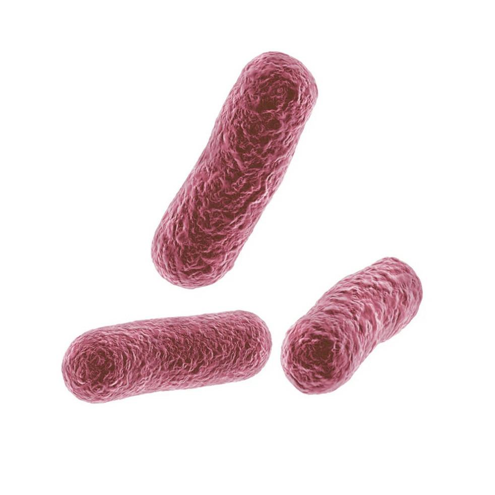 ProDURA Bacillus coagulans