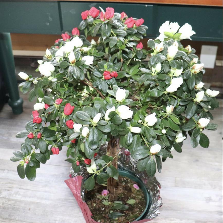 Red and White Azalea Tree