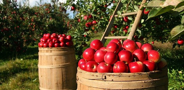 Harvested Apples in Orchard