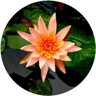 Orange Pond Lily