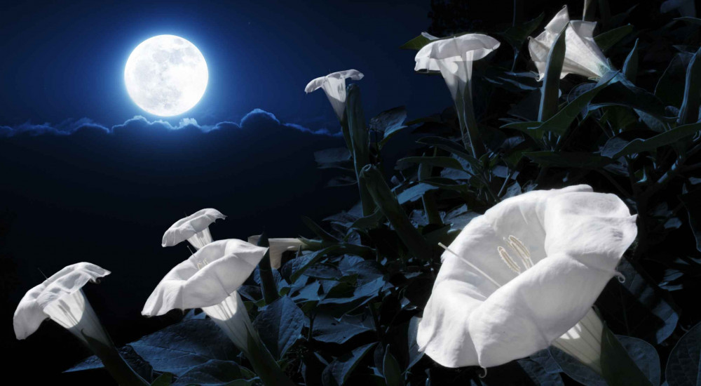 Moon Flowers shining in the Moonlight