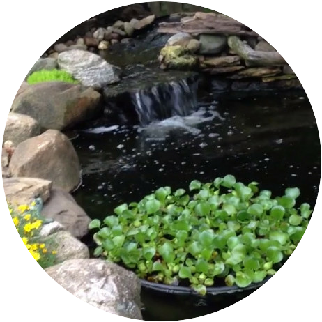 Pond with waterfall showing floating pond plants