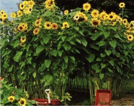 Sunflower Fort