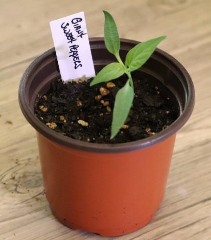 Giant Sweet Bell Pepper Plant