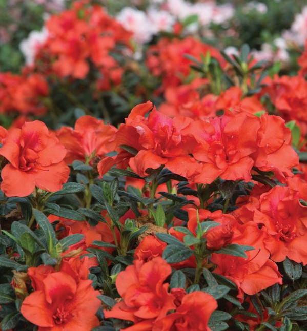 Orange Azalea Bush