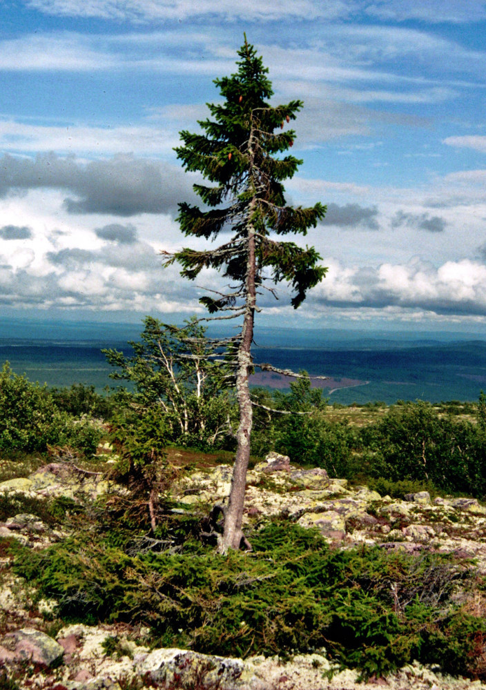 Old Tjikko - Oldest Norway Spruce over 9,000 years old - The Spruce Tree - Planting Spruce Trees