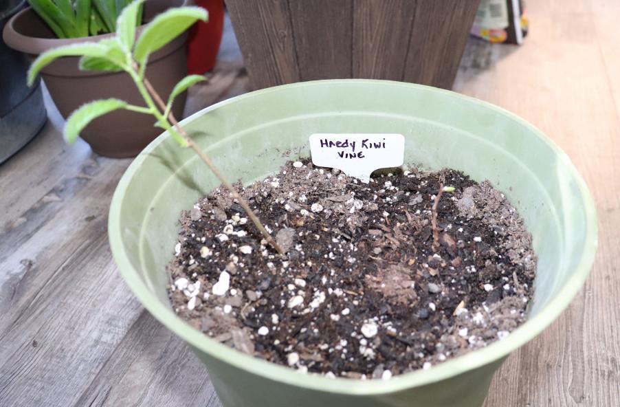 My hardy Kiwi plant indoors