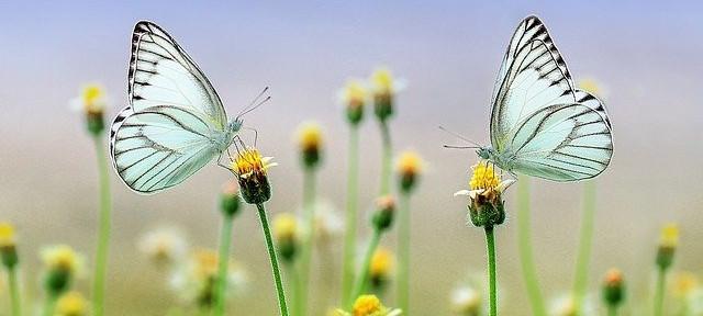 Butterflies on flower buds