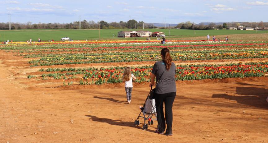 Tulip Farm - When to Plant Tulips