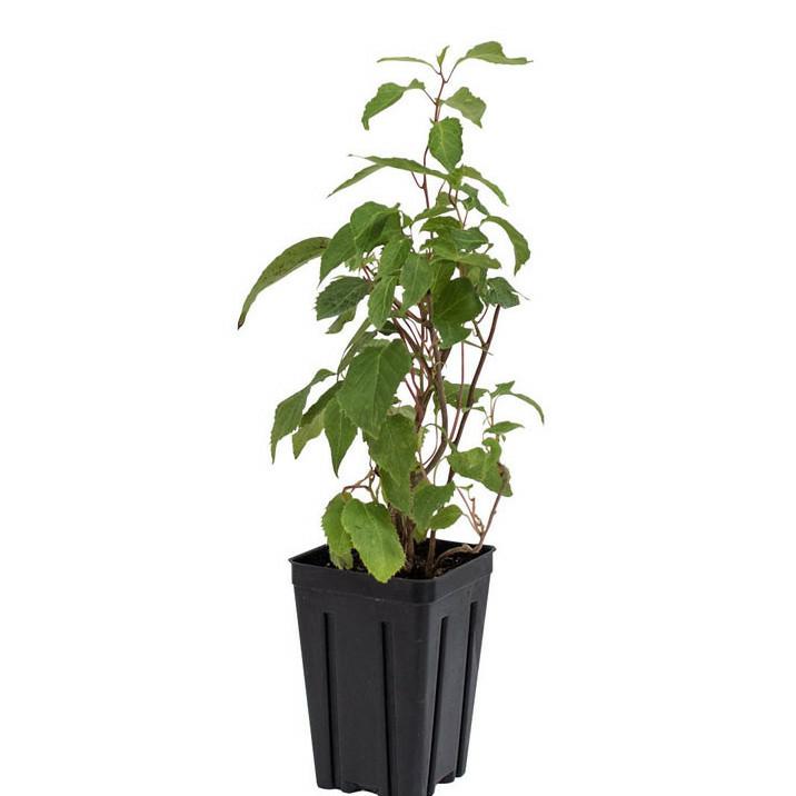 Issai Hardy Kiwi Plant
