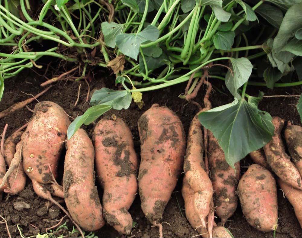 Harvested Sweet Potatoes