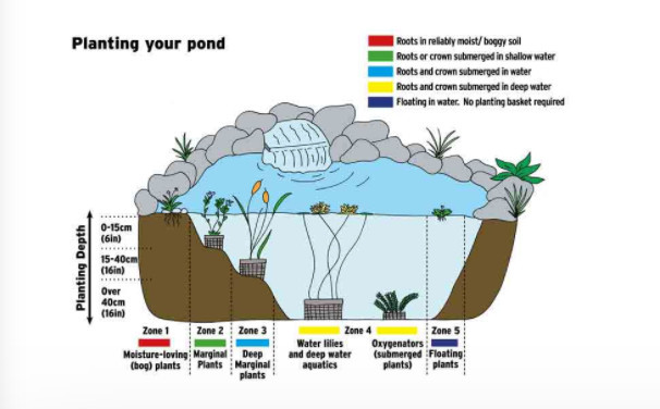 Planting the pond by zone