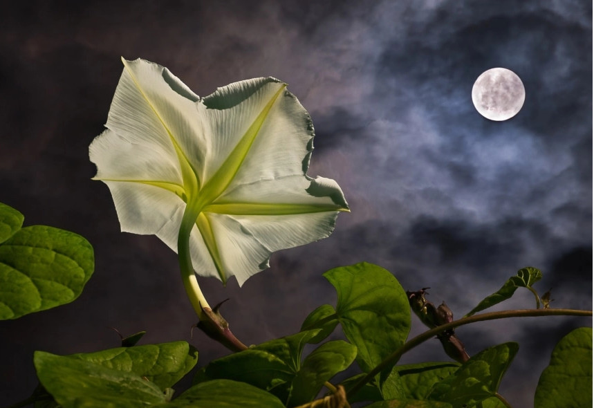 Moonflower and moon