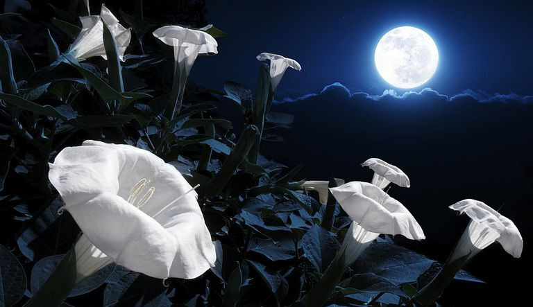 Moonflowers with full moon