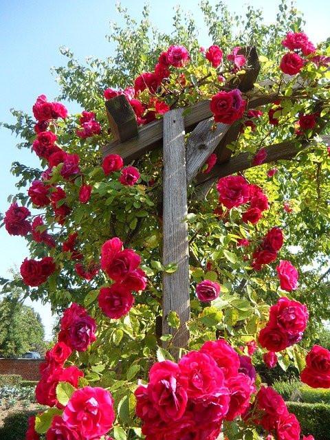 Climbing Roses on pergola