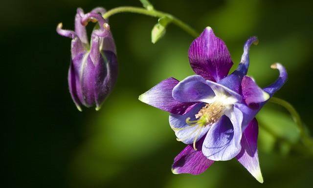 Violet and Blue columbine flower