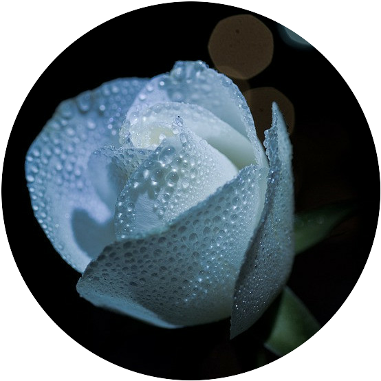 White Rose shining in Moonlight - Gardening by the Moon - When to Plant your Garden