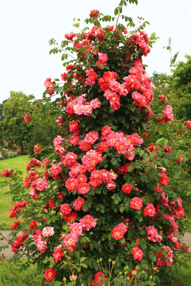 Roses growing on Trellis