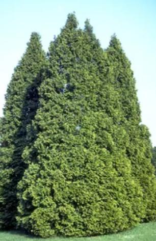 Mature Northern White Cedar
