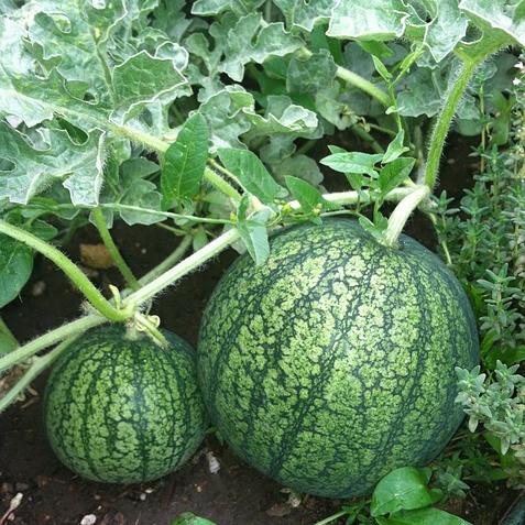 Watermelon and vine