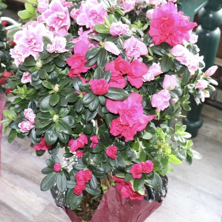 Pink and Hot Pink Azalea Tree