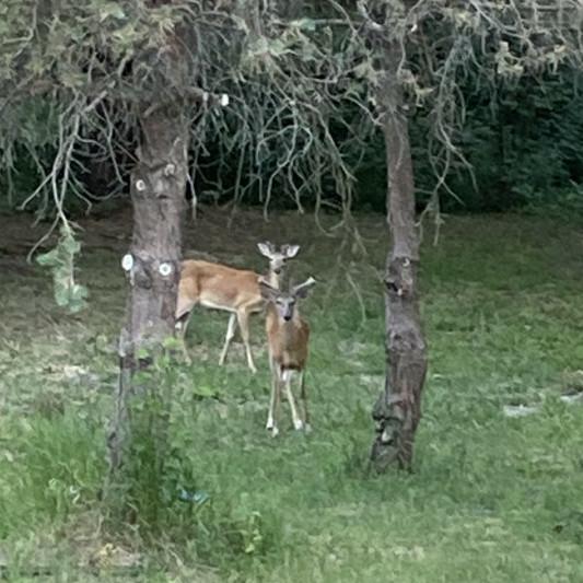 Deer at the Simongetti North