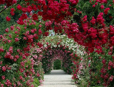 Roses growing on Arches