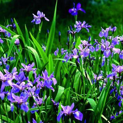 Blue Flag Iris'