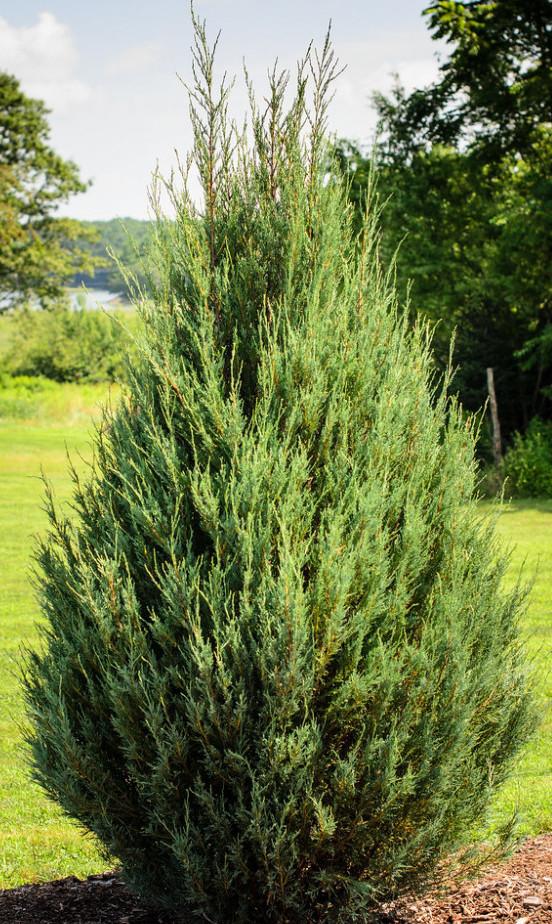 Mature Eastern Red Cedar