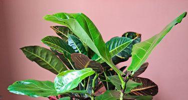 fiddle leaf fir plant cuttings
