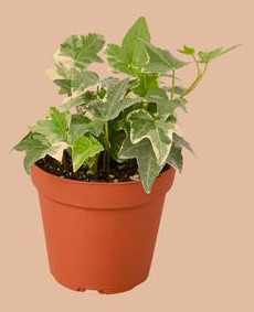 indoor english ivy plant care