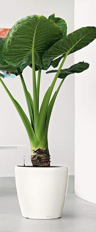 dwarf banana tree plant care