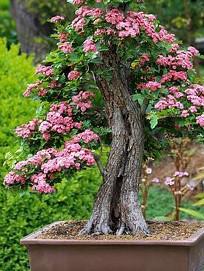 hawaiian umbrella bonsai tree care