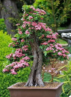 top 10 bonsai trees