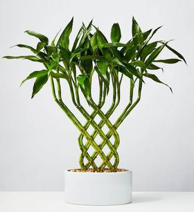 indoor bamboo plant care