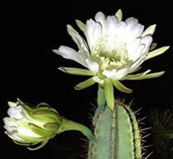 night blooming plants list