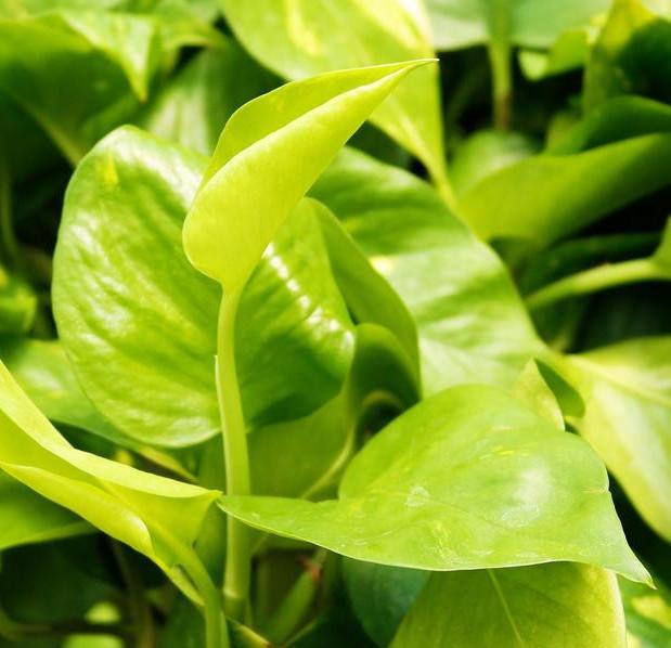 golden pothos plant care
