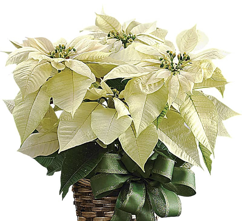 white christmas caladium care
