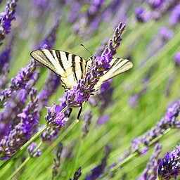 french lavender plant care