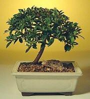 where to buy bonsai trees online