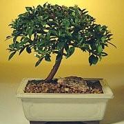 hawaiian unbrella bonsai tree care