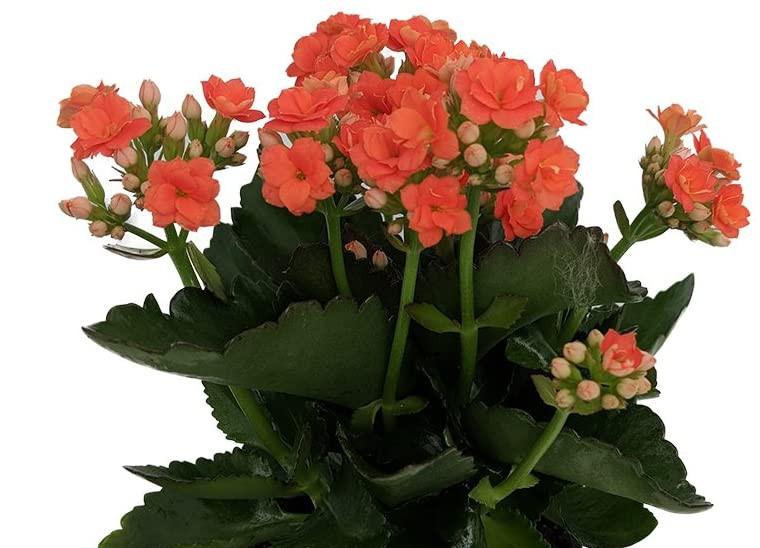 best indoor blooming plants