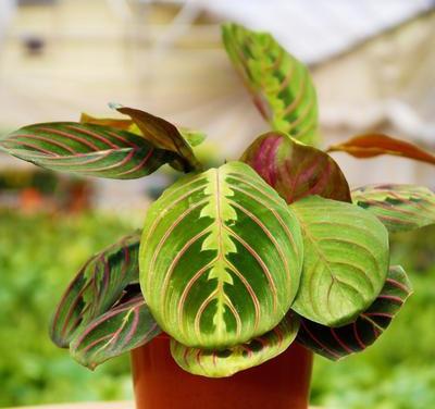 calathea prayer plant care