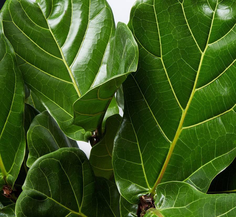 fiddle leaf fig plant cuttings