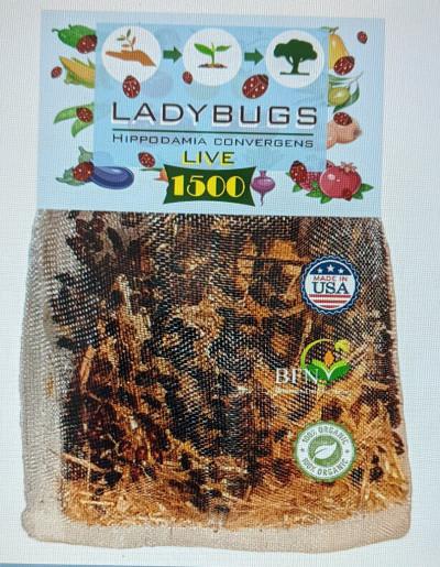 Live Lady Bugs
