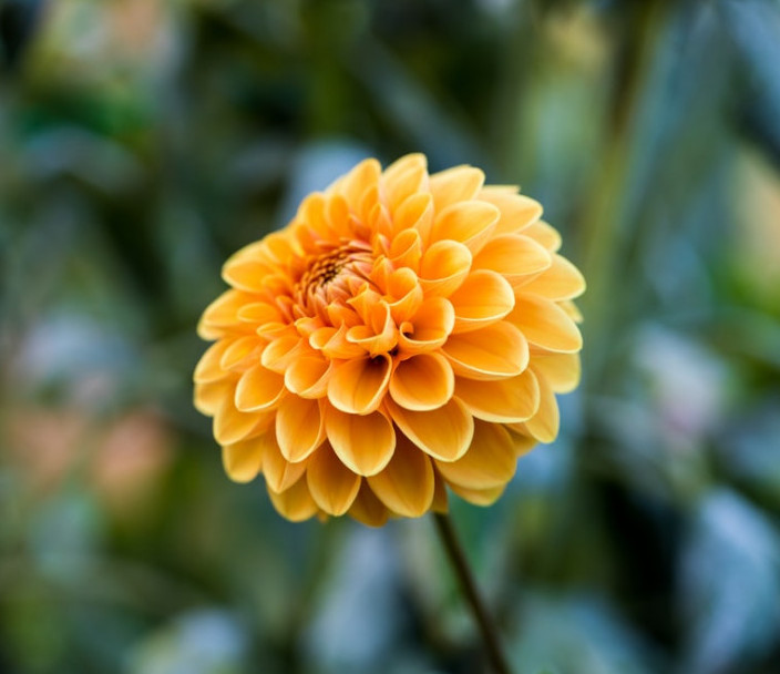 Pompon Chrysanthemum