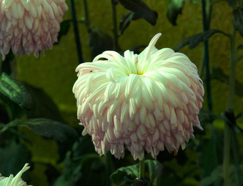 Reflex Chrysanthemum