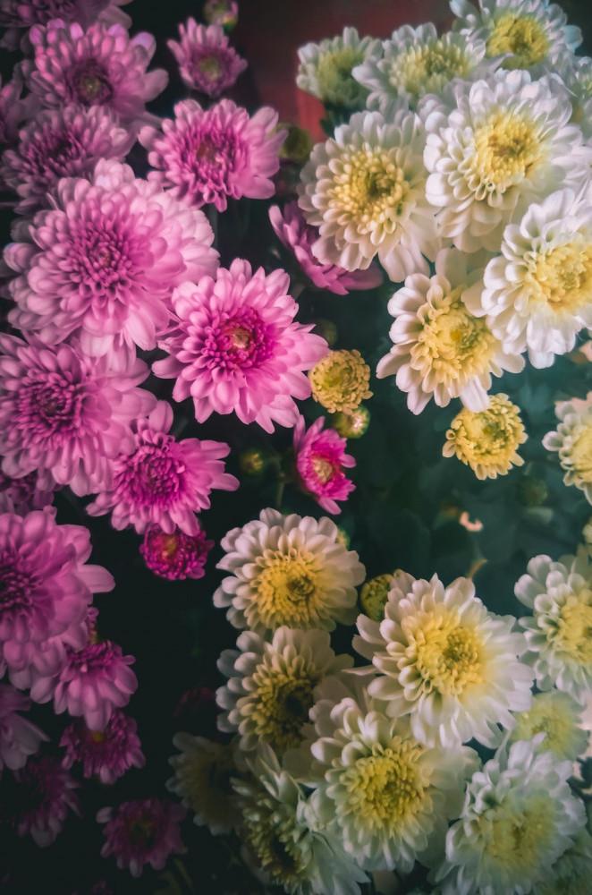 Chrysanthemums Unsplash