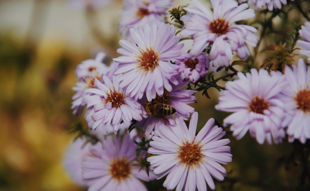 Single Bloom Chrysanthemum